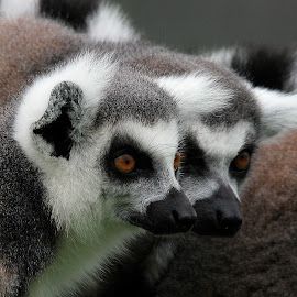 Lemur by Ralph Harvey - Animals Other Mammals ( wildlife, ralph harvey, lemur, longleat, animal )