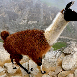 Travel Photography of Alpaca at Machu Picchu by Tyrell Heaton - Landscapes Travel ( sense of place, machu picchu, travel, alpaca, landscape )