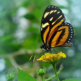 Tiger Mimic-Queen by Jadwiga Dabrowski - Animals Insects & Spiders ( butterfly, flower )