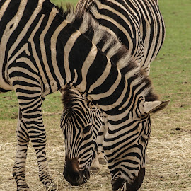 Head turner by Garry Chisholm - Animals Other Mammals ( garry chisholm, nature, black and white, horse, wildlife, zebra )