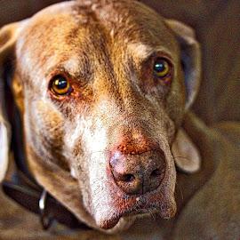 Aunt Hazel wants you! by Jim Antonicello - Animals - Dogs Portraits ( wienarrammer, dog, eyes )