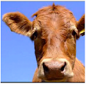Hello Cow icon