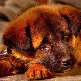 The Innocent GSD Puppy by Sudipto Bhaumik - Animals - Dogs Puppies (  )