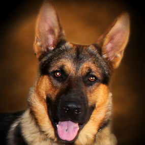 German Shepherd by Dawn Vance - Animals - Dogs Portraits ( male, dog, tan, gsd, portrait, animal, sable )