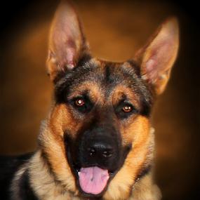 German Shepherd by Dawn Vance - Animals - Dogs Portraits ( male, dog, tan, gsd, portrait, animal, sable )