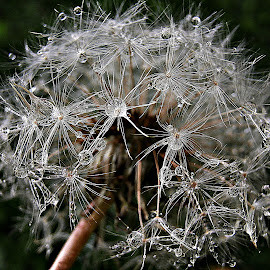 Drops of Beauty by Marija Jilek - Nature Up Close Other plants ( dandelion, nature, stars, drops, plants, seeds, stem )