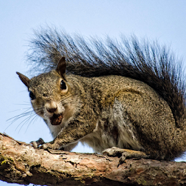Sometimes You Feel Like A Nut by Patricia Kousaleos - Animals Other Mammals ( wild, mammel, nature, fur, nut, tail, squirrel )