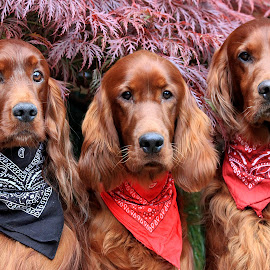 The Bandana Boy's! by Ken Jarvis - Animals - Dogs Portraits ( bandana, irish setter, dog, cute, #GARYFONGPETS, #SHOWUSYOURPETS )