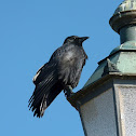 Carrion Crow / Rabenkrähe