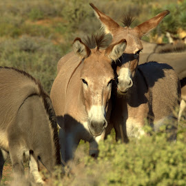 The Plotting Begins by Daniel Hackett - Animals Horses ( red rock canyon, happy, burro, wildlife,  )