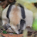 NorthernTamandua (Anteater)