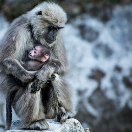 Love like this by Shivaang Sharma - Animals Other Mammals ( child, love, mother, langur, wildlife, son, mussoorie, india, mammal, animal )