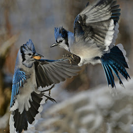 the jays by Isabelle VM - Animals Birds ( bluejays nature adventure, wings feathers infight,  )