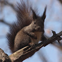 Korean tree squirrel