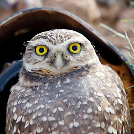 Burrowing Owl by Steve Forbes - Animals Birds ( owl, raptor )