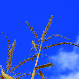 Tassels in the sky by April Grunwald - Nature Up Close Gardens & Produce ( sky, blue sky, fall, stalk, cloud, harvest, corn )