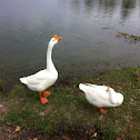 White chinese goose