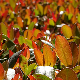 Leaves by Judy Dean - Nature Up Close Leaves & Grasses ( red, green, yellow, gold, leaves )