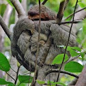 Three-toed sloth/perezoso de tres dedos