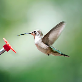 Hummer03 by Glenna Walker - Animals Birds ( bird, animals, hummers, feisty, birds, animal, hummer )