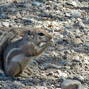Harris Antelope Ground Squirrel