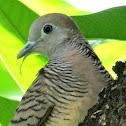 Zebra Dove or Barred Ground Dove