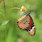 Common Tiger or African Monarch