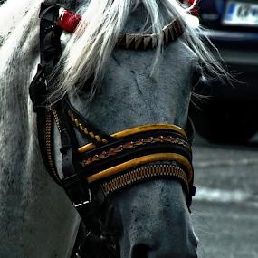 Horse by Renato Dibelčar - Animals Horses ( street, horse, slovenia, tourism, animal )