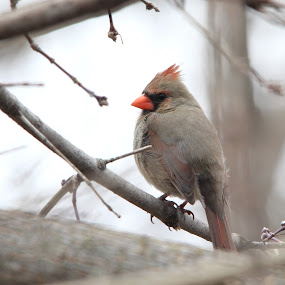 Northern Cardinal by Suann Vandewalker - Animals Birds