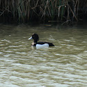 Tufted Duck (Reiherente)