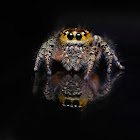 Two horned Jumping spider