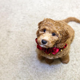 Mini Goldendoodle by Jason Narverud - Animals - Dogs Puppies