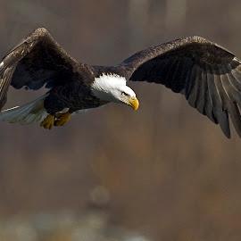 The Great Aerial Hunter by Rod Schrader - Animals Birds