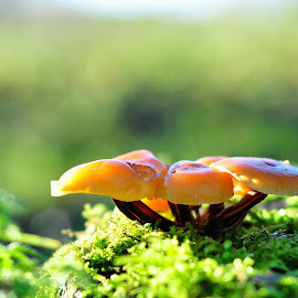 Velvet Shank fungi by Tony Steele - Nature Up Close Mushrooms & Fungi