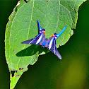 Arcius Swordtail Butterfly
