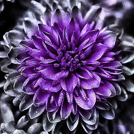 Fade by Rhonda Musgrove - Flowers Single Flower ( purple, petals, chrysanthemum, mum, flower )
