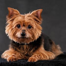 Yorkshire terrier by Renata Horáková - Animals - Dogs Portraits ( yorkshire terrier,  )