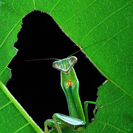 The Grass Hopper by Yoserizal Yoserizal - Animals Insects & Spiders