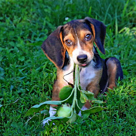 Somebody pulled one of my sunflowers out of the ground! by Liv Hooker - Animals - Dogs Puppies ( puppy, beagle, flower, barnabus )