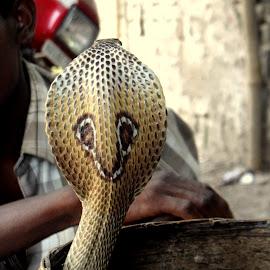 Indian Cobra in a Basket by Soumen Mandal - Animals Reptiles ( snake, reptile, cobra )