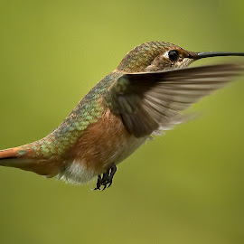 Hummingbird,  by Sheldon Bilsker - Animals Birds ( bird, anumal, park, nature, hummingbird )