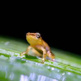 Ready! by Chiranth Jain - Animals Amphibians ( animals, frog, amphibian, night, forest )