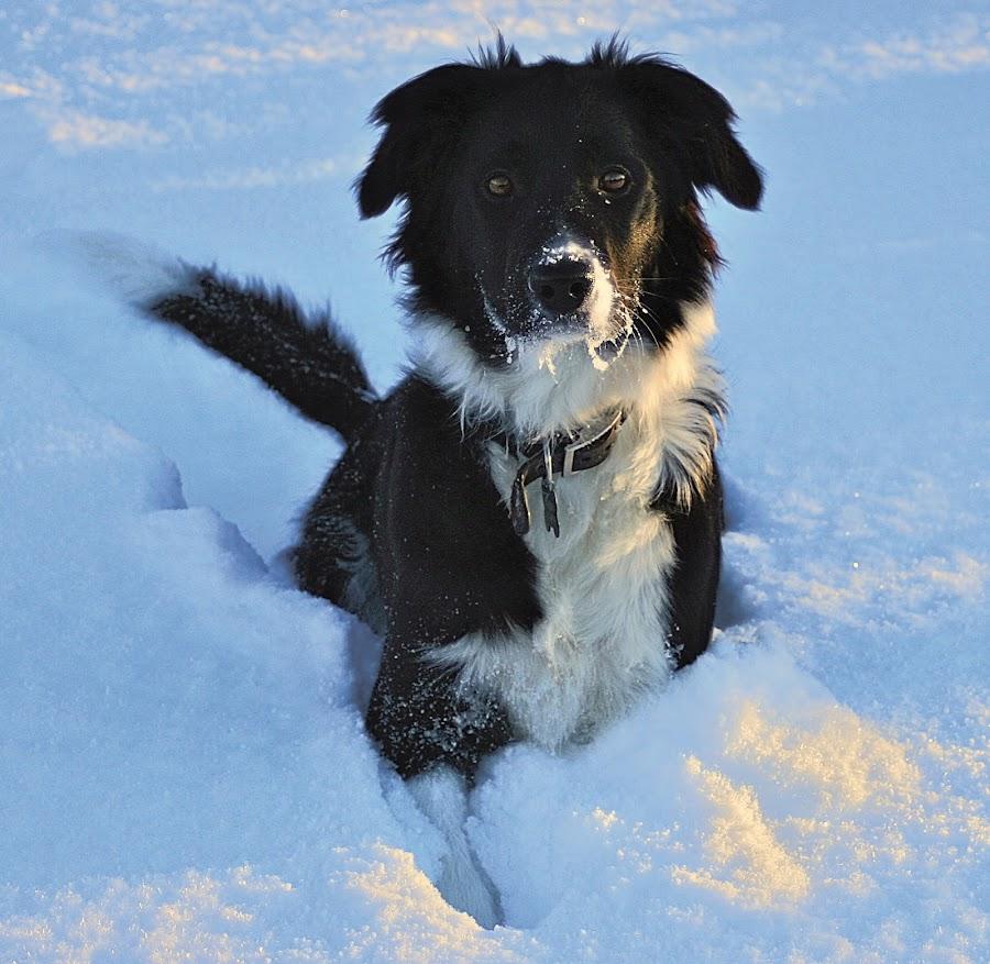 Táta (The She BC) by Kristján Karlsson - Animals - Dogs Portraits ( border collie, snow, dog, portrait )