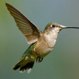 # by Roy Walter - Animals Birds ( animals, nature, hummingbird, wildlife, birds )