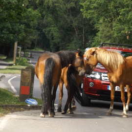 by Anthony Hutchinson - Animals Horses (  )
