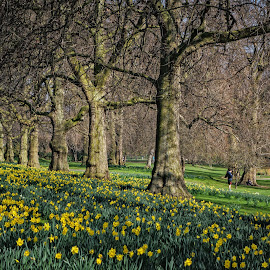 Springtime by Ozlem Mehmet - City,  Street & Park  City Parks ( park, green, daffodils, yellow, st james park, spring, renewal, trees, forests, nature, natural, scenic, relaxing, meditation, the mood factory, mood, emotions, jade, revive, inspirational, earthly )