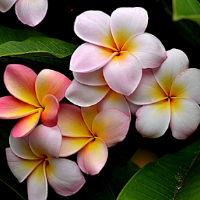 Pink Frangipani 103 by Mark Zouroudis - Flowers Tree Blossoms