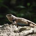 Texas Spiny Lizard (Male)