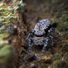 Bark Jumping Spider