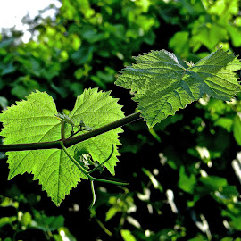 Grapevine Leaves Light and Dark by Steven Aicinena - Nature Up Close Leaves & Grasses ( tuscany, grapevine, leaves, italy,  )